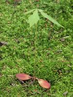 Acorn germination of Quercus Stock photo [355372] Quercus